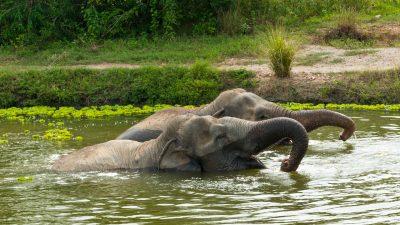 Zwemmende olifanten