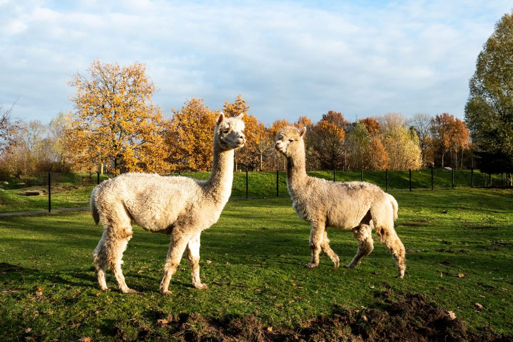 Alpaca's Oosterhoeve